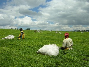 Tea crops in Kenya: The ARC agency is designed to protect agriculture from climate change risk